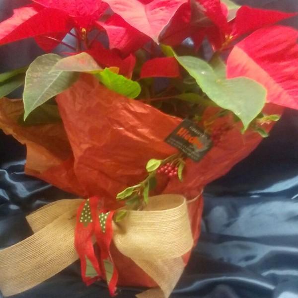 Flor de pascua rústica