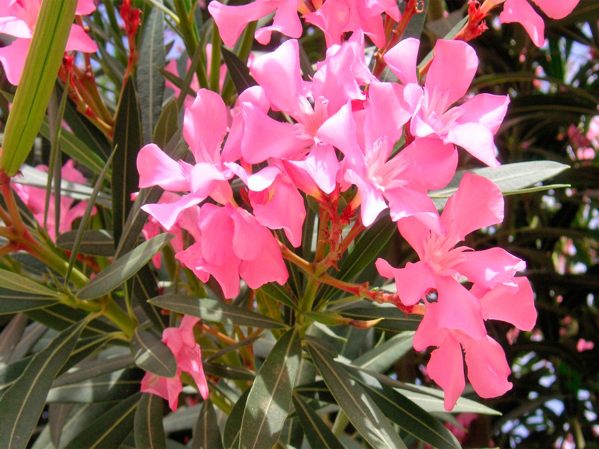 Flor de adelfa