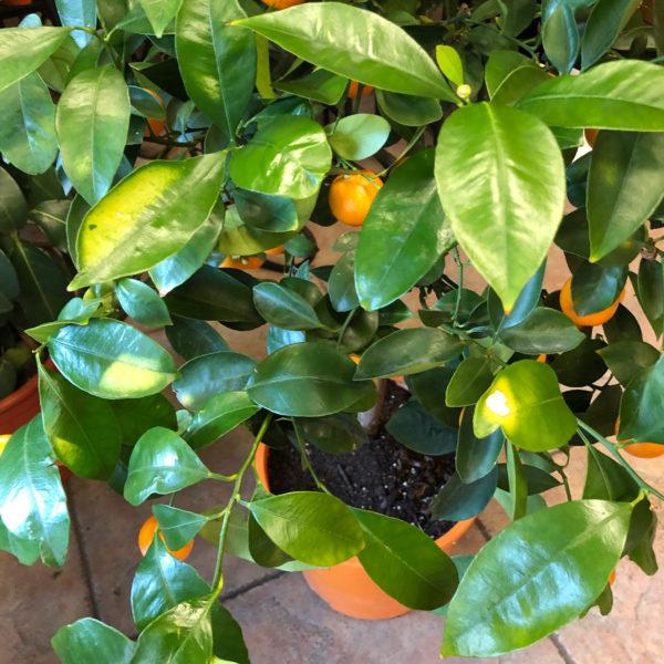Naranjo enano ornamental